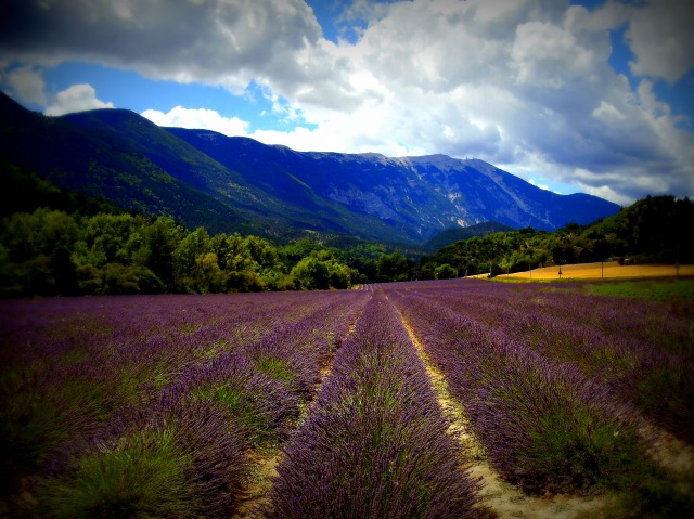 Best lavender field on North side.