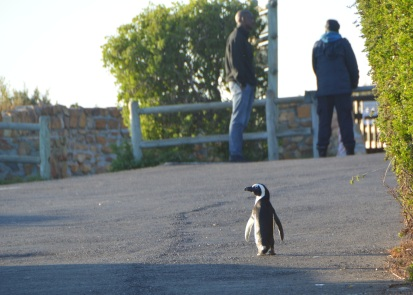I made a quick stop at Boulder's Beach in route to Cape Point, and this little fella was out for a morning stroll in the parking lot.